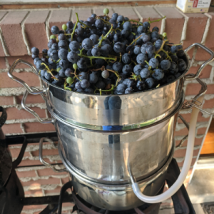 The top of the steam juicer overflowing with concord grapes