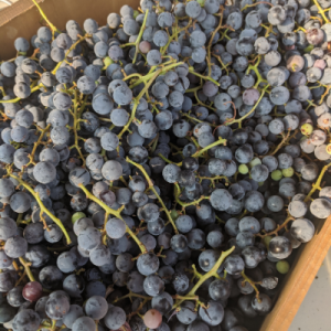 Concord grapes freshly harvested