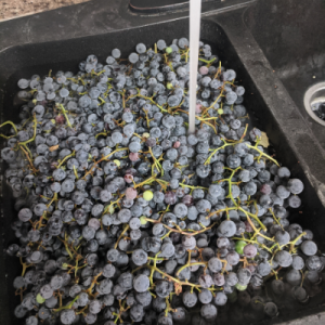 Concord grapes being washed in the sink